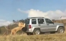 หมดลายเจ้าป่า!! สิงโตขี้เกียจวิ่ง อาศัยเกาะยางอะไหล่รถโฟร์วีลส์ลากไป (คลิป)