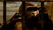 สวนสัตว์พาต้า..ขอเวลา 5 ปี ในการย้ายกอริลลาบัวน้อย