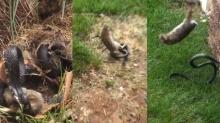 ขอสู้เพื่อลูก...!! สุดซึ้ง ลูกใคร ใครก็รัก แม่กระต่ายเข้าไปช่วยลูกจากงูก่อนถูกกิน(คลิป)