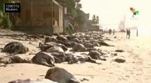 เรือบรรทุกวัวล่ม!! ซัดเข้าฝั่ง ตายเกลื่อนขายหาดบราซิล