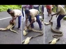 กล้ามากหนุ่มอินเดียใช้มือเปล่านุ่มอินเดียบีบท้องงูเหลือมช่วยลูกแพะ