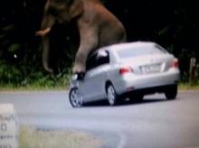 คลิปชัดๆ!! วินาทีชีวิต ช้างป่าเขาใหญ่ ขึ้นทับ-เหยียบรถเก๋งพังยับ
