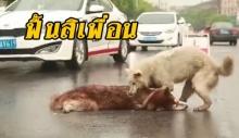 สะเทือนใจ! หมาโดนรถชนตายกลางถนน เพื่อนอีกตัวทั้งเห่า สะกิดเรียก แต่ไม่รับรู้อะไรแล้ว (มีคลิป)