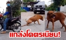 เนียนไปแล้ว! สุนัขคลานขาลาก จนสงสัยใครชนมัน? คำตอบอย่างพีค (คลิป)