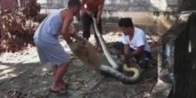 ผงะ!! งูเหลือมตัวใหญ่มาก สุดหวาดเสียววินาทีล่าจับ!!