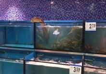 ฉลาดล้ำ!!ปลาไหลเลื้อยข้ามตู้มากินกุ้ง อิ่มแล้วเลื้อยกลับ