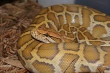 10 สายพันธุ์งูที่มีขนาดใหญ่ที่สุดในโลก
