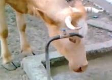 วัวฉลาด เปิดก๊อน้ำกินเอง