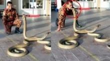 คนถ่ายเสียวไส้ติ่งแทน! เมื่อคนขอลองดี ล้อเล่นกับมัจจุราช จูบหัวพญางูจงอาง ความยาวกว่า 3 เมตร