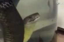 สยอง!! ผัวเมียจีน จับงูเป็นๆ ยัดขวดยาดอง จนงูขาดใจตาย