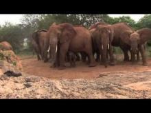 มาดูกัน ช้างโขลงนี้ สามัคคีทำอะไรกัน