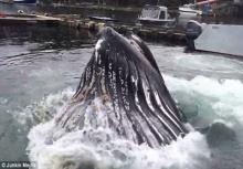 ใหญ่โพด!!วาฬยักษ์โผล่ทักทายห่างจากท่าเรือไม่กี่ฟุต