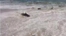 นักท่องเที่ยวตะลึง! ปลาฉลามเกยตื้นกว่า 100 ตัว
