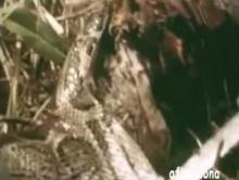 สุดอึ้ง!!! ให้งูเหลือมกินขาตัวเอง !