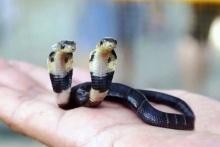 พบลูกงูเห่าประหลาด โผล่ชูคอสองหัว