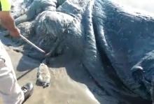 ฉงน!พบซากสัตว์ประหลาดขนาดใหญ่ เกยตื้นหาดเม็กซิโก (คลิป)