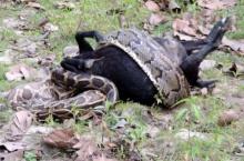ระทึก! งูเหลือมยักษ์เขมือบแพะทั้งตัว
