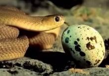 ดูกันชัดๆ งูกินไข่ คายเปลือกออกมาด้วย