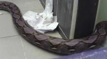 งูโผล่อีกแล้ว ที่อยุธยา หมวกเหล็ก ตัวใหญ่มากกกกก