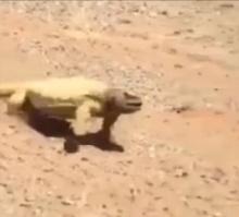 ทะเลทรายซาอุฯ จะร้อนขนาดไหน ขนาดสัตว์ชนิดนี้ยังยอมแพ้!! [ชมคลิป]