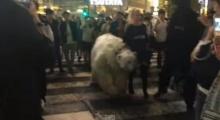 อะไรนะ!? คนเดินจูง หมีขาว กลางถนนที่ชิบูยา