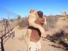 อึ้ง!! สิงโตคิดถึง..วิ่งกระโดดกอด