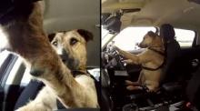 เจ้าปีเตอร์สุนัขขับรถได้ตัวแรกของโลก !! วิวทะลุ 12 ล้านแล้ว