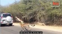 อย่างทึ่ง! ตัวอิมพาลาถูกเสือ 2 ตัวรุม แต่มันกลับรอดมาได้อย่างหวุดหวิด!